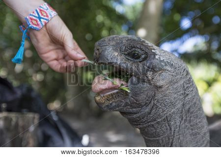 hand feeding a Aldabra Giant Tortoise at tropical island in Seychelles