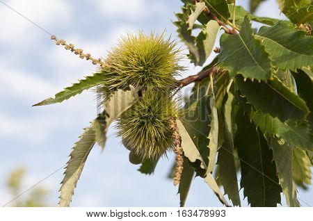 Leaves and fruits of Sweet chestnut tree (Castanea sativa). Originally native to southeastern Europe and Asia Minor it is now widely dispersed throughout Europe and in some localities in temperate Asia