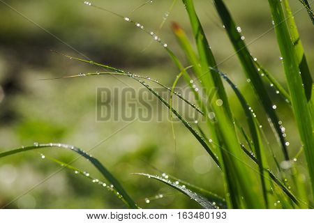 Morning dews on green grass with nature background