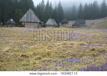 Field of crocuses. Wooden traditional houses in the mountains as a background