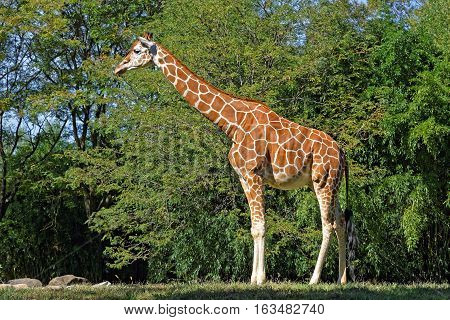 A Giraffe in natural habitat on a bright sunny day