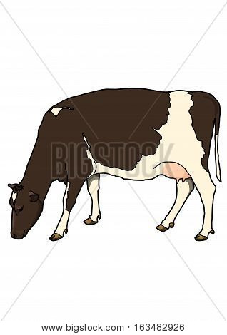 The brown cow with white spots on their sides on a white background. Head bowed to the ground.