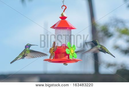 Two beautiful small colibris drinking sweet water