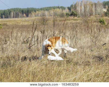 shaggy brown and white dog hunts a rabbit on a dry grass on a field on a background of pine forest