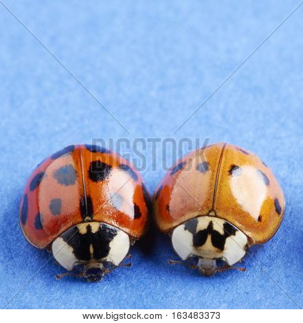 Close up of two ladybugs side by side on a blue paper background.