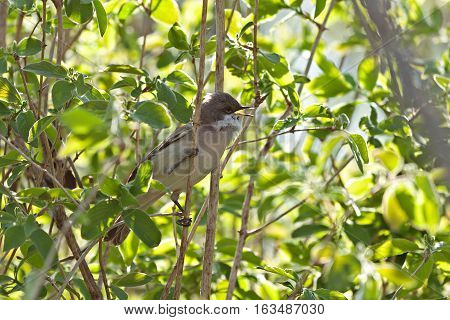 Common Whitethroat (Sylvia communis) sitting on branch