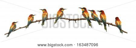 set of bee-eaters sitting on a branch isolated on white, birds of paradise, bee-eaters, rainbow colors, a group of birds. flock