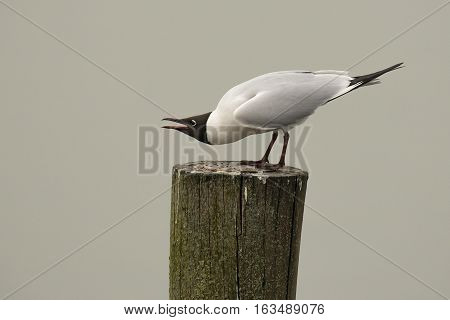 Black-headed Gull (Chroicocephalus ridibundus) standing on a Wooden Pole in Threaten Pose