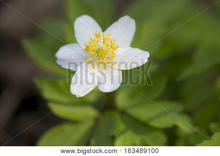 Wood Anemone (Anemone nemorosa) one flower flowering in an Arboretum