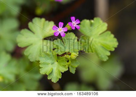Shining Geranium (Geranium lucidum) two flowers flowering in an Arboretum