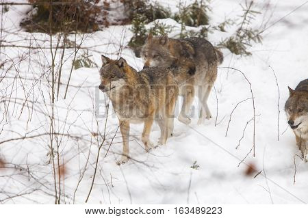Three Eurasian Wolves (Canis lupus lupus) walking through Snow in a Forest