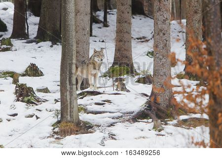 Eurasian Wolf (Canis lupus lupus) standing in Snow in a Forest