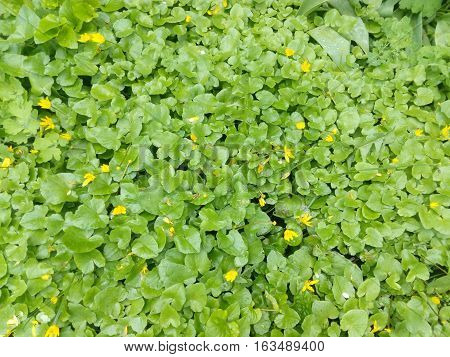 Glade with small yellow flowers and green leaves close up