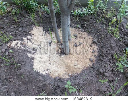 Three tree trunk in the ground strewn with sand on the city flowerbed