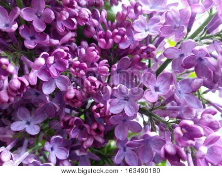 The inflorescences blossoming purple lilac bud closeup