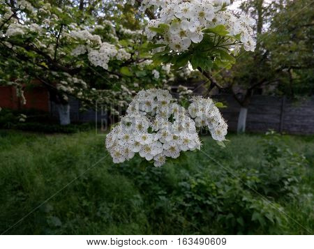The inflorescence is a flowering fruit tree with small white flowers in spring day