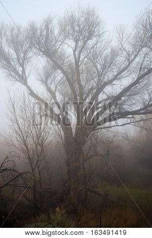 Large deciduous tree surrounded by fog taken in a forest