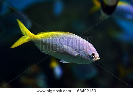 little fish with a yellow tail in aquarium