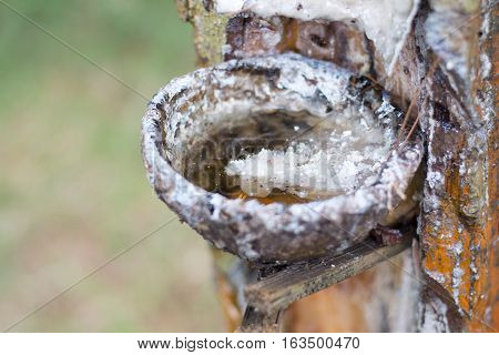 Tapping the raw rubber from rubber tree farm