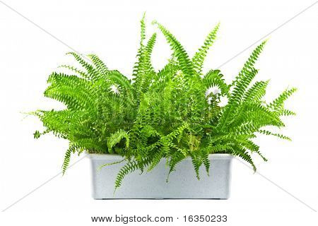 home fern isolated on white