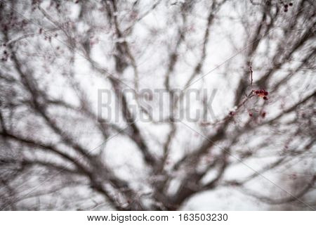 Hawthorn with red berries covered with hoarfrost.