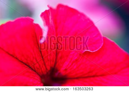 Closeup of the bright red Petunia flower.