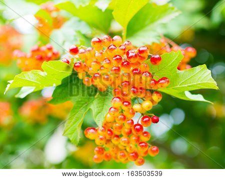 Berries of the guelder rose (Viburnum opulus) shrub. Close up.