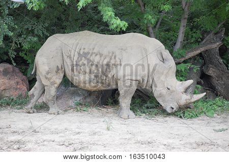 A Single Rhino standing in a zoo