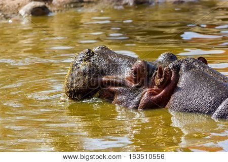 The common hippopotamus, or hippo, is a large, mostly herbivorous mammal in sub-Saharan Africa, and one of only two extant species in the family , the other being the pygmy hippopotamus.