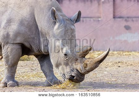 Both black and white rhinoceroses are actually gray. They are different not in color but in lip shape. The black rhino has a pointed upper lip, while its white relative has a squared lip.