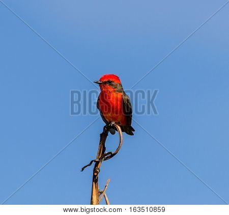 The vermilion flycatcher is a small passerine bird in the Tyrannidae, or tyrant flycatcher family. Most flycatchers are rather drab, but the vermilion flycatcher is a striking exception.