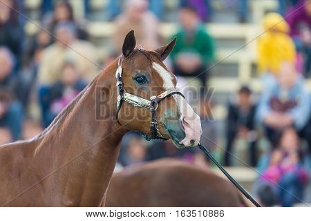 The Azteca is a horse breed from Mexico.  They are well-muscled horses that may be of any solid color, and the American Azteca may also have pinto coloration.