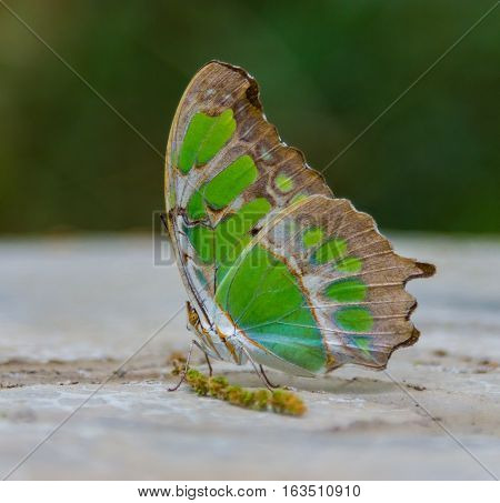 Siproeta stelenes is a neotropical brush-footed butterfly. The malachite has large wings that are black and brilliant green or yellow-green on the upper side and light brown and olive green underside