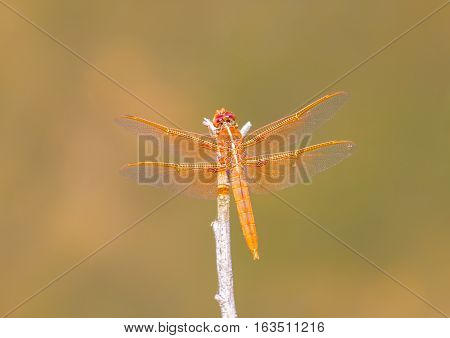 Male flame skimmers are known for their entirely red or dark orange body, this includes eyes, legs, and even wing veins. Females are usually a medium or darker brown with some thin, yellow markings.