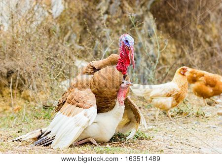 The turkey is a large bird , which is native to the Americas. One species, is native to the forests of North America, from Mexico, throughout the midwest and eastern United States, and into Canada.