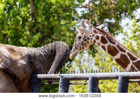 This African elephant and giraffe are unlikely friends forced together in the confines of a zoo. In the wild this would never happen as they would have their own family herd.