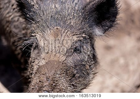 They're hairy, stinky, and downright adorable! Meet the Javelina, Sedona's famous pig-like desert dweller. Otherwise known as the Collared Peccary, the Javelina is one of three species of New World.