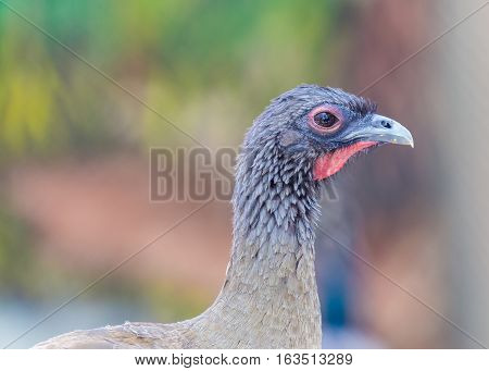 Chachalacas are mainly brown galliform birds from the genus Ortalis. These birds are found in wooded habitats in far southern United States, Mexico, and Central and South America.