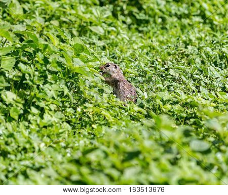 The Mexican ground squirrel is a species of rodent in the family Sciuridae. It is found in Mexico and the United States.