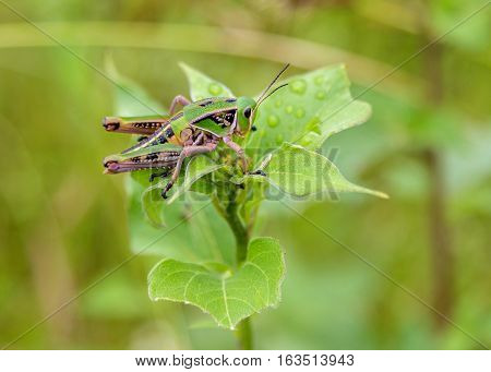 Bright green grasshoppers are found in abundance in the grasslands of Mexico. They are also collected and  are commonly eaten in certain areas of Mexico.