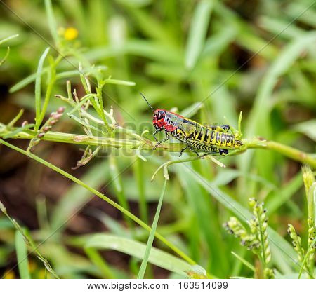Painted grasshopper or rainbow grasshoppers, are found in the grasslands of central Mexico.