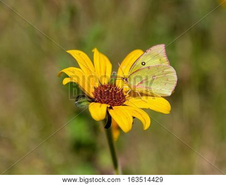 Cloudless sulphur butterfly feasting on a wild sunflower in central Mexico.
