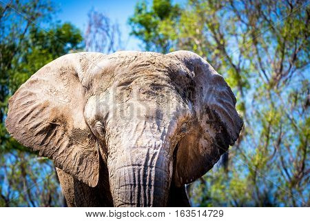 Once common throughout Africa and Asia, elephant numbers were severely depleted during the twentieth century, largely due to the massive ivory trade.