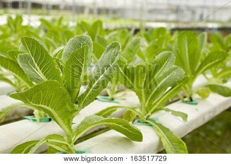Cultivation hydroponic green vegetable in farm plant market Red oak green oak frillice iceberg