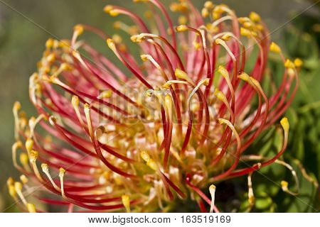 beautiful photo of a Protea pin cushion plant at close range with limited depth of view