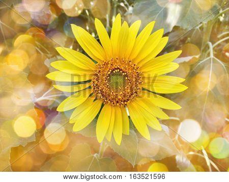 Colourful Summer Orange Bokeh And Sunflower In Garden Background