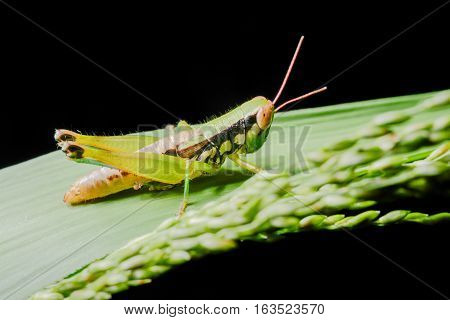 Grasshoppers on leaves on a black background.