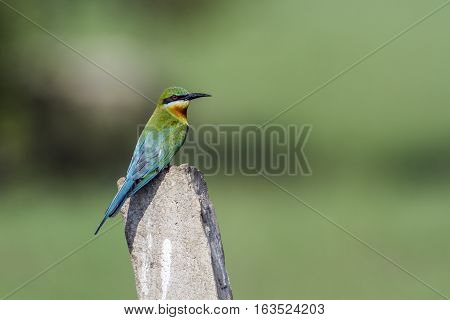 Blue-tailed bee eater in Arugam bay lagoon, Sri Lanka ;specie Merops philippinus family of meropidae