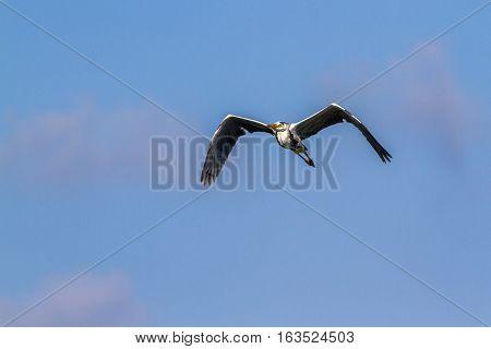 Grey heron in Arugam bay lagoon, Sri Lanka ; specie Ardea cinerea family of ardeidae