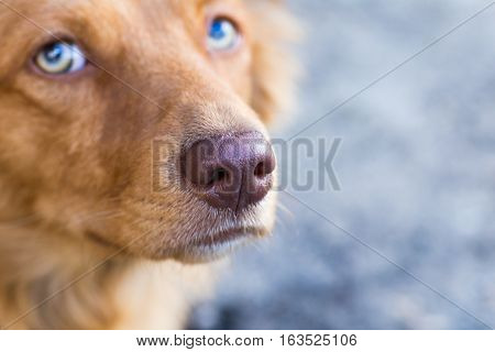red dog pooch close-up, focus only on the vinous nose, eyes in blur